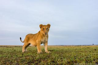 BeetleCam Lion Cub