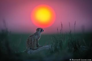 Meerkat Watching Sunset