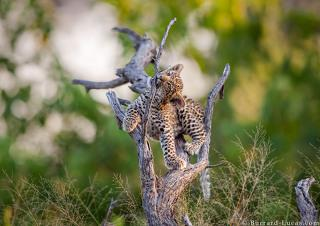 Playing Leopard Cub