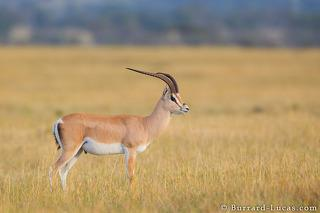 Male Grants Gazelle