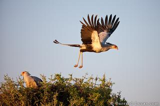 Secretary Bird Flying