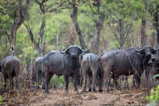 Buffalo in Niassa