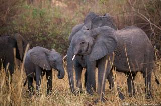 Elephants in Niassa