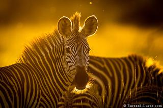 Zebra Backlit at Sunset